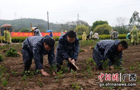 图为横县县直单位代表种植茉莉花苗。
