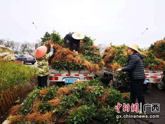 花农忙着从茉莉花苗基地运载花苗到各村屯。