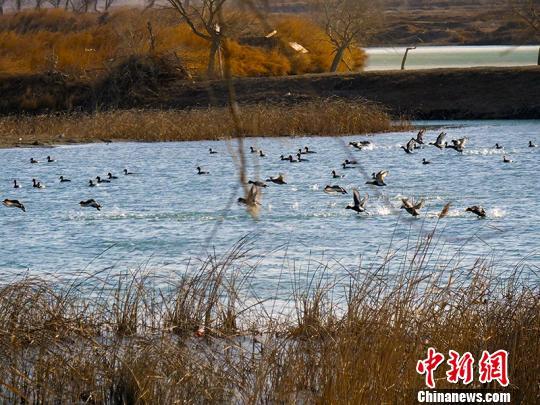 新疆且末县生态环境改善 引数千野鸭栖息