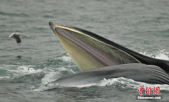 广西涠洲岛海域连现鲸鱼 个体识别超20头
