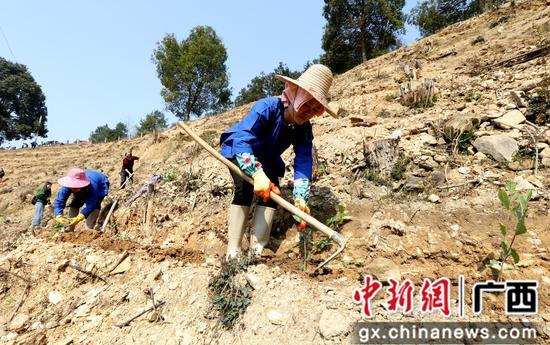 广西三江:扶贫春茶栽种忙