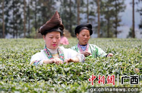 广西融水苗山开采明前茶