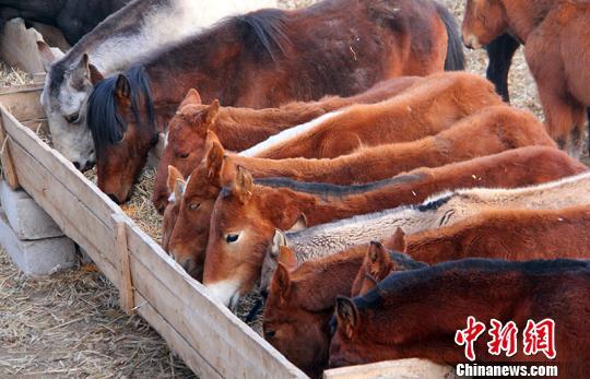 当地发展马产业帮助58户贫困户发展特色畜牧养殖,截至目前,村内贫困户每年能获得分红4万元。 贾洪明 摄