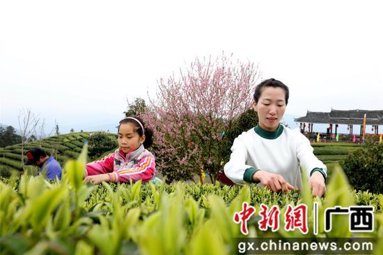 """广西三江依托""""茶旅融合""""走出一条脱贫路"""