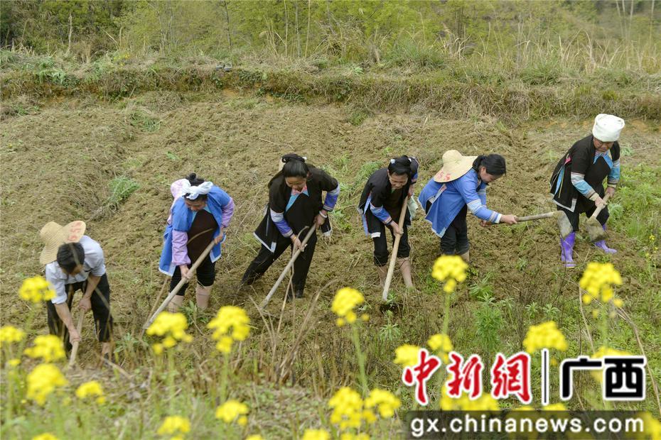 广西三江种植中草药谋脱贫