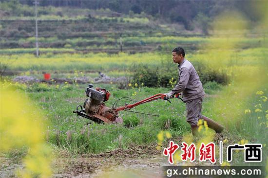 3月17日,在广西柳州市融安县浮石镇东江村,一名农民驾驶微耕机耙田,准备种植早稻。谭凯兴 摄