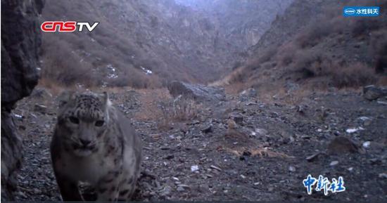 雪豹妈妈带两宝宝巡山 天山北坡被证实是雪豹重要栖息地