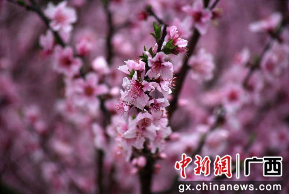 广西融水千亩桃花迎春开
