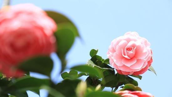 缤纷娇艳的茶花。婺城区委宣传部提供