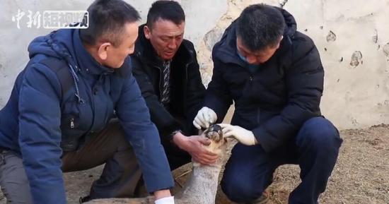 国家二级保护动物两岁狍双眼患白内障被救助