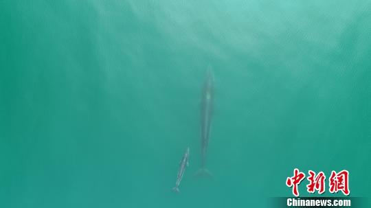 广西涠洲岛海域现布氏鲸母子同框出游