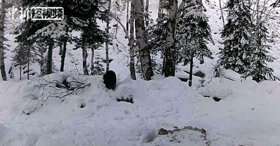 国家一级保护动物貂熊再现阿尔泰山区 中国仅存200头