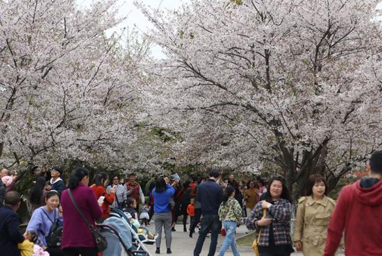 同濟大學浙江學院第四屆櫻花節現場。  由校方供圖