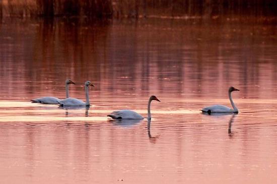 克拉玛依古海生态公园成珍稀鸟类迁徙途中的驿站