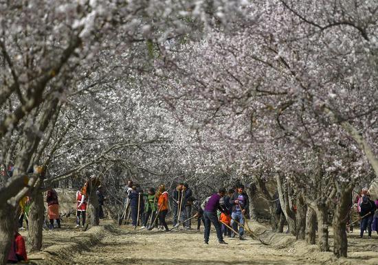 """4月9日,位于新疆天山腳下的烏什縣奧特貝希鄉巴什阿克瑪一村,村里及周邊的幾萬棵杏樹正值花期,村民正在杏花林中勞作,為""""杏花節""""做準備。"""
