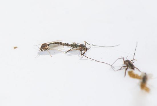 圖為:在浙江沿海新發現的物種——中華二叉搖蚊。 陳春棠 攝