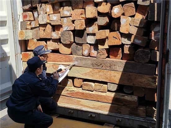 宁波口岸首次在进境红木中截获家具窄吉丁。 赵雷 摄