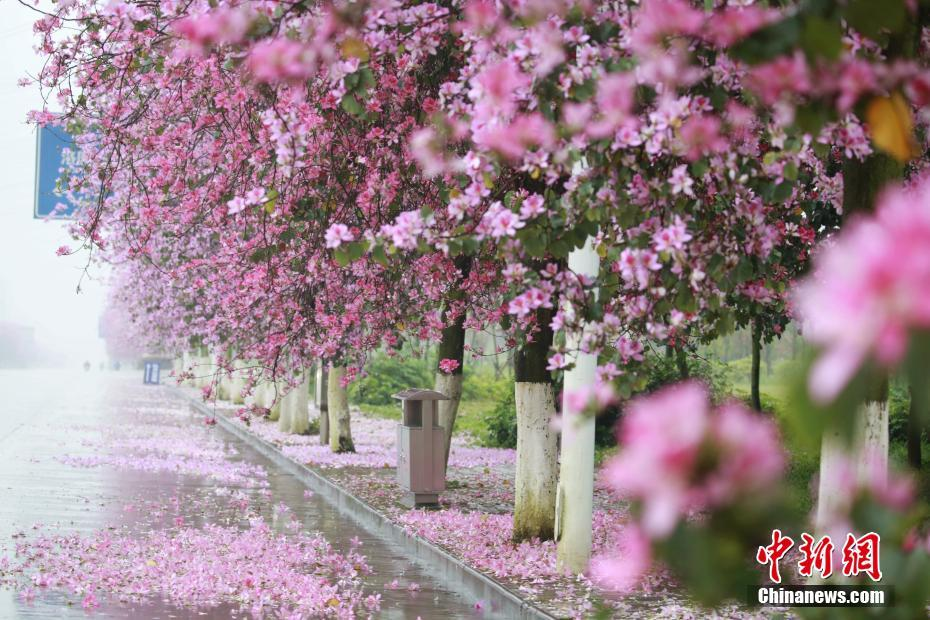"""落花滿城 廣西柳州街道""""粉紅""""如畫"""