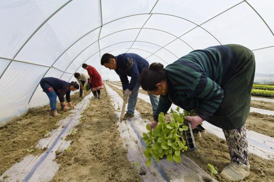 村民們在田園觀光綜合體生產供棚區移栽菜苗。龐博 攝
