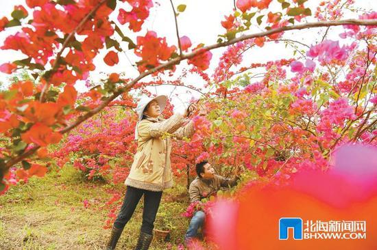 3月17日,在廉州鎮馬江村一家花卉基地,農民在修剪三角梅。