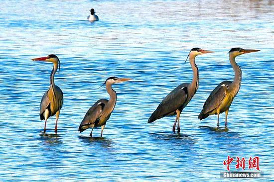 新疆克拉玛依市郊生态环境改善引来野生水禽歇脚