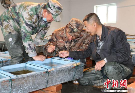 新疆兵團繁育額爾齊斯河特種冷水魚 擬孵化3000萬尾