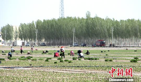 新疆和硕县15万亩辣椒拉开种植序幕