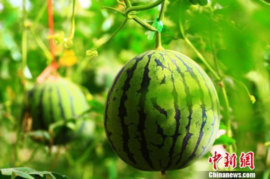 舌尖上的水果 新疆托克逊县进入瓜果飘香季