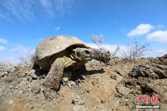 艾比湖湿地国家自然保护区现国家一级保护动物四爪陆龟