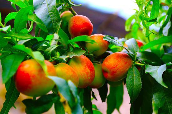 鲜红的油桃 (34)