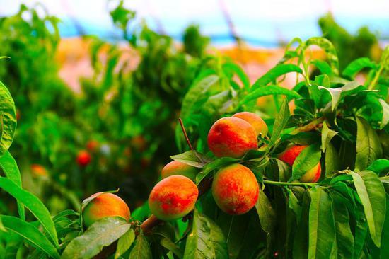 鲜红的油桃