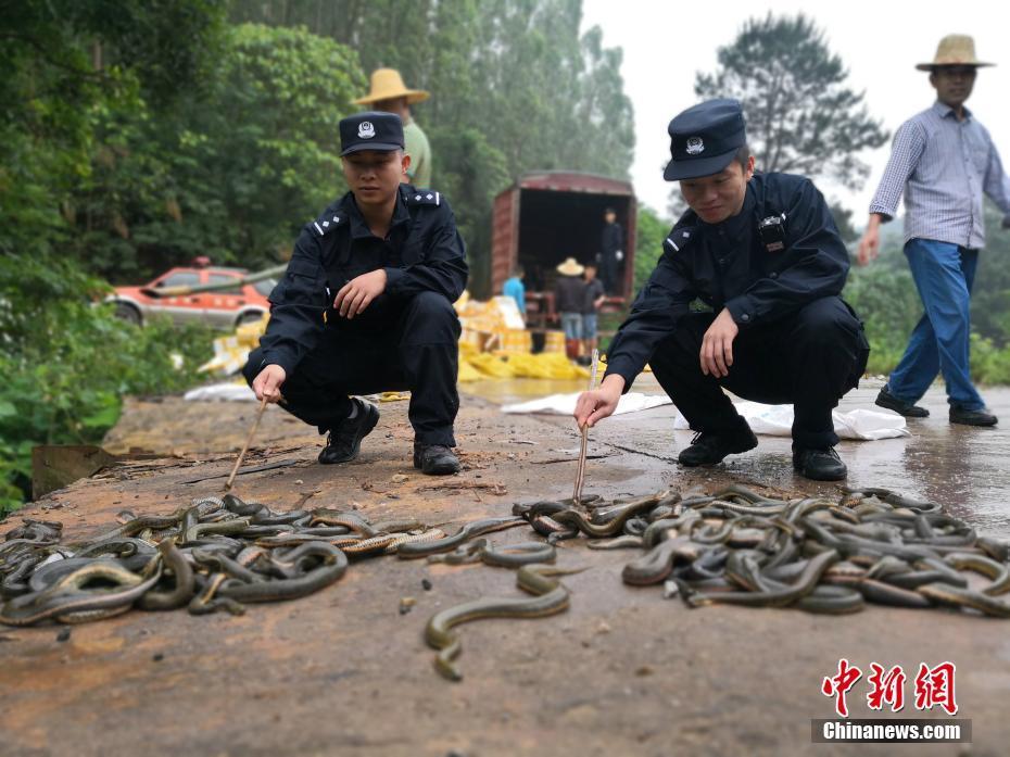 崇左警方查獲逾5萬條(只)涉走私活體蛇類和沼蛙