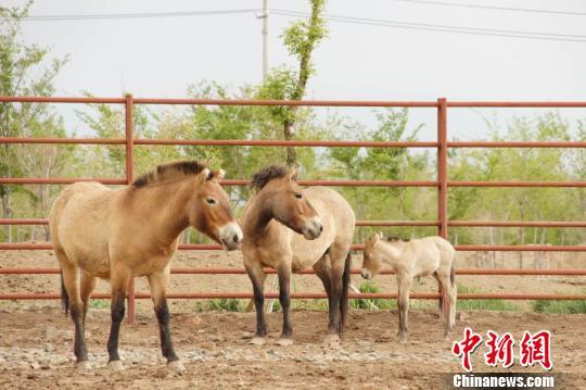 新疆普氏野马进入繁殖季 野马数量占世界五分之一