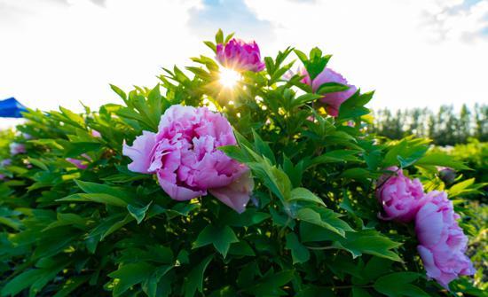 新疆阜康天山牡丹园花开正浓
