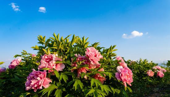 5月中旬,位于新疆阜康市的天山牡丹园里牡丹进入盛开期,花开正浓的万株牡丹形成一片迷人花海,尽显雍容华贵之态,成为游客赏花游景的好去处。该园区栽植的牡丹花分为油用牡丹和观赏牡丹两类品种,当地每年5月中旬到6月中旬是观赏牡丹花的最好时节。据悉,当地牡丹是当地民众于2017年从甘肃引进,历经寒冬后,这片牡丹迎来首个盛开期。秦雪芳 巴克达吾列提
