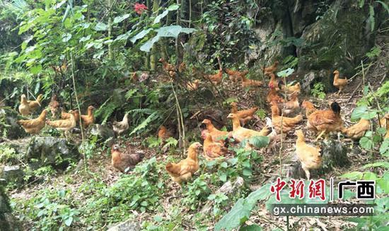 图为西山乡福厚村百力屯巴马飞鸡养殖基地。