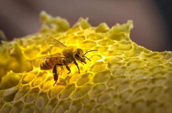 蜜蜂。郭其钰 摄