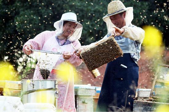 养蜂。郭其钰 摄