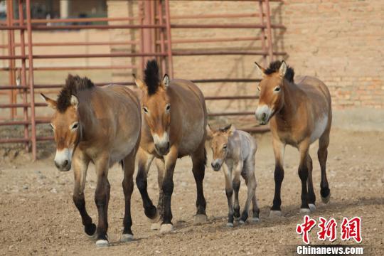 新疆圈养野马今年繁殖进入高峰期 已迎来四匹小马驹