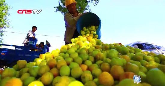 新疆托克逊万亩杏园丰收 外地客商收购忙