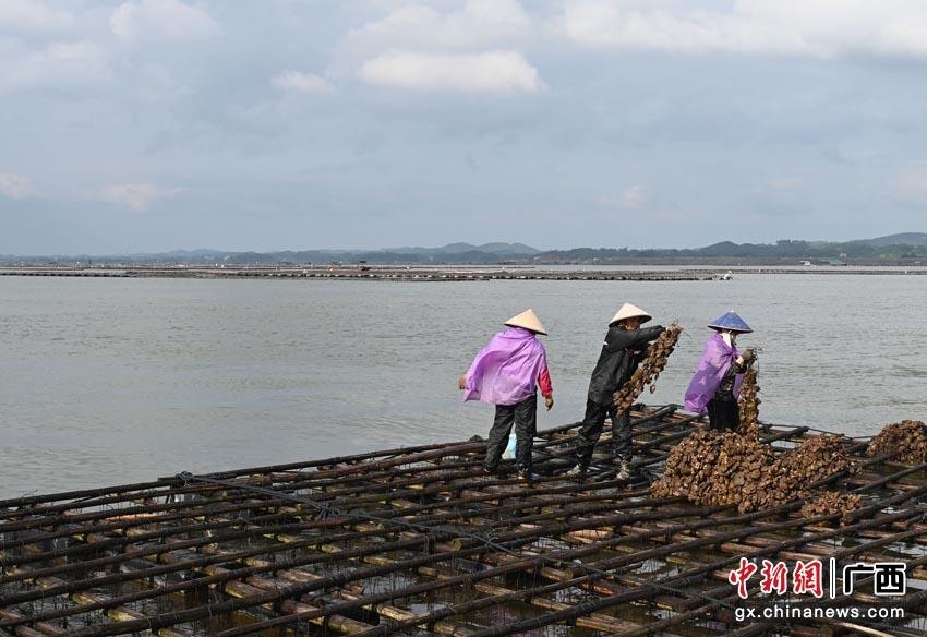 广西钦州努力发展大蚝产业