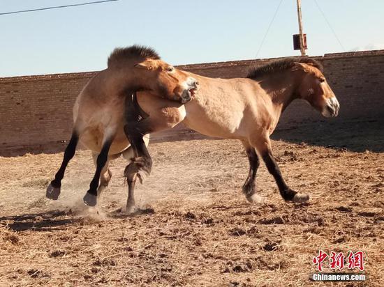 新疆多匹雄性野馬因爭奪配偶負傷