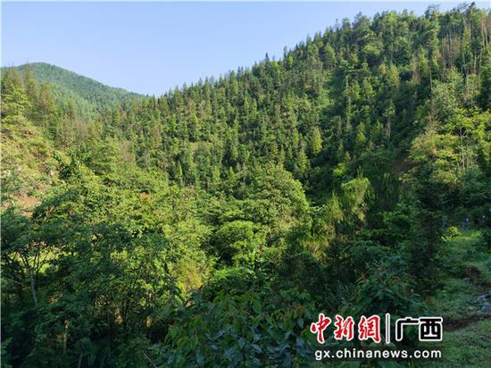 圖為鳳山縣勝耀金花茶開發專業合作社流轉的林地。