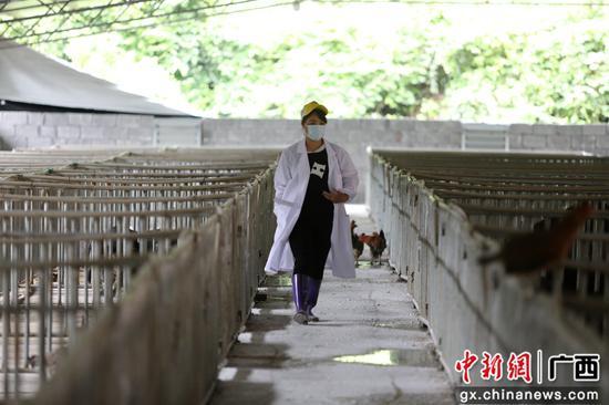 6月6日,楊柳青在豬圈內巡查。韋鼎標 攝