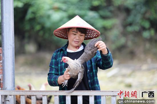 圖為楊柳青在查看土雞長勢。