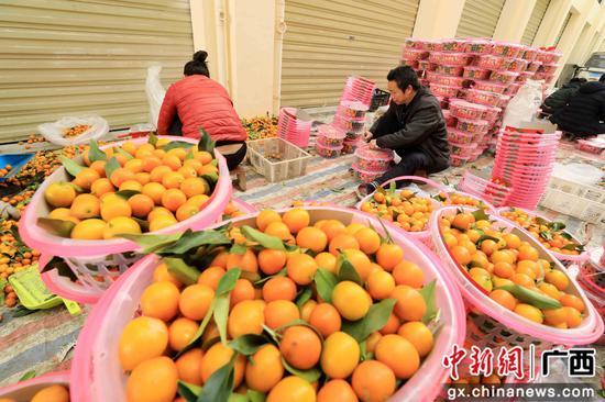 在广西柳州市融安县桂北农产品批发市场,果农对金桔进行打包。谭凯兴 摄