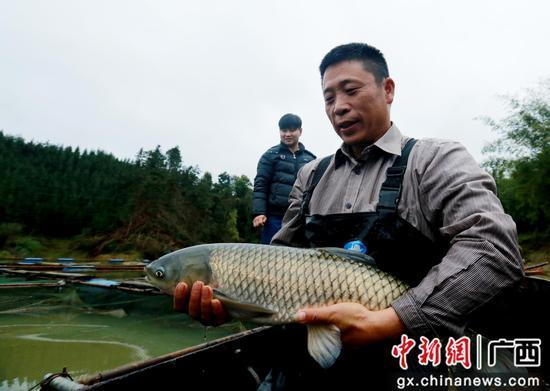 在广西柳州市融安县长安镇安宁村,一名融安河边鱼养殖户在展示自己养殖的草鱼。覃庆和 摄