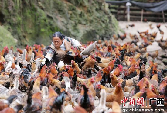 在广西柳州市融安县大坡乡岗伟村平土屯,何群英在查看飞鸡生长情况。谭凯兴 摄