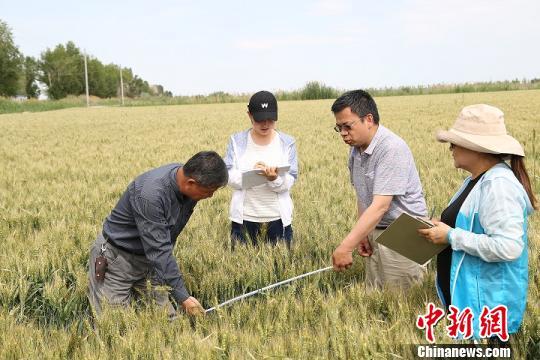 新疆兵团北部万余亩冬小麦成熟 测产亩最高可达581公斤