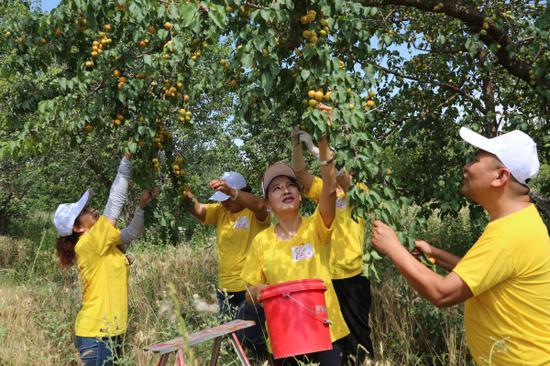 輪臺縣總工會、團委、婦聯、殘聯駐哈爾巴克鄉庫臺克布拉克村工作隊幫助村民采摘小白杏。